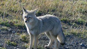 renard gris